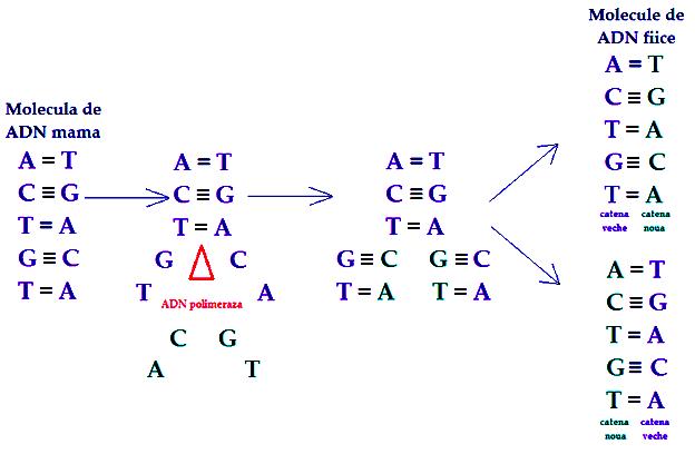 ADN-polimeraza