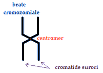 brate-cromozomiale