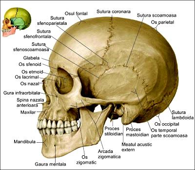 scheletul capului