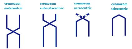 criteriu-de-clasificare--a-cromozomilor