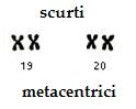 cromozomi-metacentrici-scurti