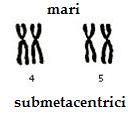 cromozomi-submetacentrici