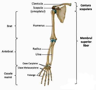 scheletul mână